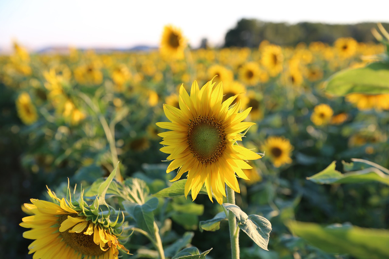 sunflower-475571_1280